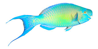 Parrotfish isolated stock photos