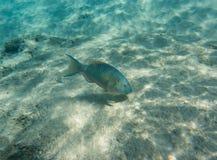 Parrotfish Stock Photo