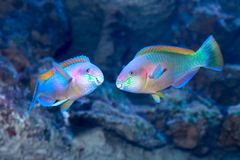 Parrotfish On The Coral Reef Stock Photo