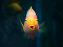 Parrotfish orange Stock Photos