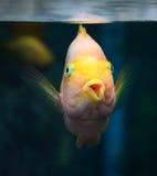 Parrotfish orange Stock Images