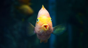Parrotfish orange Royalty Free Stock Photos
