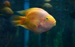 Parrotfish orange Royalty Free Stock Photos