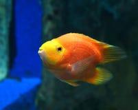 Parrotfish orange Royalty Free Stock Image