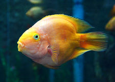 Parrotfish orange Stock Photography