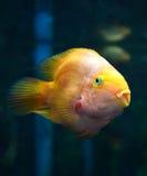 Parrotfish orange Stock Photos
