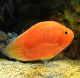 Parrotfish Royalty Free Stock Image