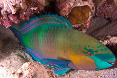 Parrotfish Royaltyfri Foto
