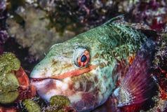 Parrotfish Stock Image
