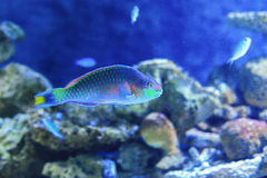 Parrotfish Stock Photos