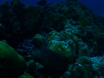 Parrotfish Redband στοκ εικόνες