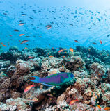 Parrotfish on a reef. A Parrot fish swims around a tropical coral reef stock images