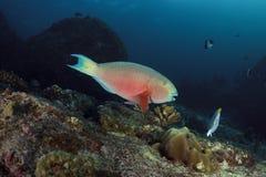 Parrotfish subaquático no mar de Andaman, Tailândia Fotografia de Stock