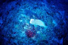 Parrotfish verde do humphead Imagens de Stock Royalty Free