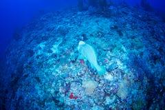 Parrotfish verde do humphead Fotografia de Stock