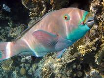 parrotfishe Стоковые Фото