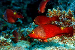 Parrotfishes Stock Image