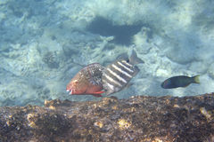 Parrotfishes in Indian Ocean near Seychelles Royalty Free Stock Images