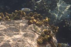 Parrotfishes in Indian Ocean near Seychelles Stock Photos