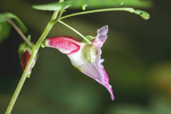 Parrotflower (endemiskväxter) Arkivbild