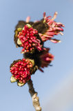 Parrotia persica red flowers Royalty Free Stock Images