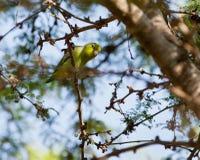 Parrotlet pacífico en la ramita Imagen de archivo libre de regalías