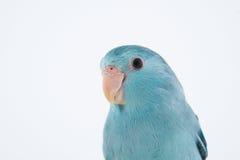 Parrotlet pacifico Fotografia Stock Libera da Diritti