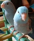 Parrotlets azuis pacíficos do bebê do close-up imagens de stock royalty free