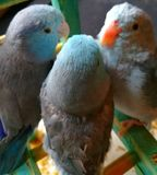 Parrotlets Party royalty free stock image