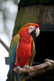 ParrotMultiColoredEyesClosed_PerchedOnBranch Royalty Free Stock Images