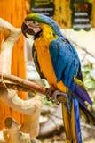 Parrots ары сидя на ветви Стоковые Фотографии RF