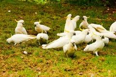 Parrots какаду Стоковая Фотография