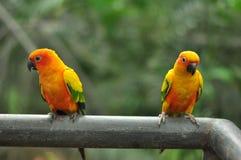 Parrots тайское Стоковая Фотография RF