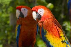 Parrots. Red parrots Stock Photography