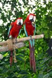 Parrots. Two parrots eating an apple at Singapore Zoo royalty free stock photo