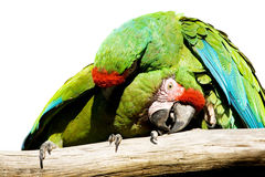 Parrots. Green parrots are fighting or loving Royalty Free Stock Images