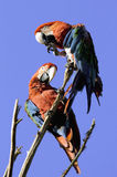 Parrots. Coloured parrots are sitting on branch Royalty Free Stock Photo