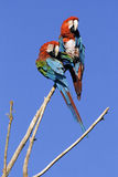 Parrots. Coloured parrots are sitting on branch Royalty Free Stock Image