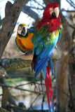 Parrots. Two colorful parrots sitting in a tree Stock Images