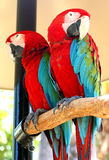 Parrots. Colorful parrots standing on a perch stock image