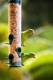 Parrots. Two parrots on a bird feeder royalty free stock images