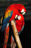 Parrots. Two parrots sitting as couple on branch Royalty Free Stock Photo