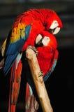 Parrots Royalty Free Stock Photo