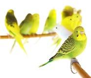 Free Parrots Royalty Free Stock Photos - 18542588