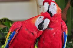 Parrots. Birds: Red Macaw Parrot: Two bright multi-coloured parrots. Close-up. Mexico royalty free stock photos