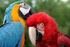 Parrots. Two tropical parrot, caring, love, tenderness Stock Photos