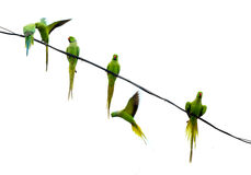 Parrots. Sitting on electricity wire with white background royalty free stock photography
