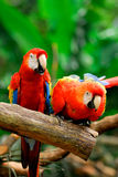 Parrots. Also known as psittacines are birds of the roughly 372 species in 86 genera that make up the order Psittaciformes, found in most tropical and stock image