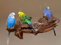 Parrots. Three color house parrots on a dry branch Royalty Free Stock Photos