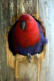 Parrots. Red and Blue macaw in a tree hole royalty free stock photos